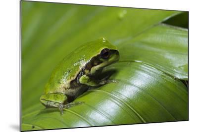 Andean Marsupial Tree Frog Froglet, Ecuador-Pete Oxford-Mounted Photographic Print
