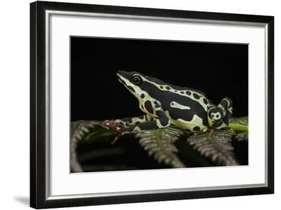 Harlequin Frog, Ecuador-Pete Oxford-Framed Photographic Print
