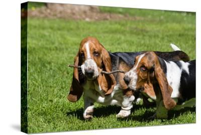 Basset Hounds Playing with a Stick-Zandria Muench Beraldo-Stretched Canvas Print