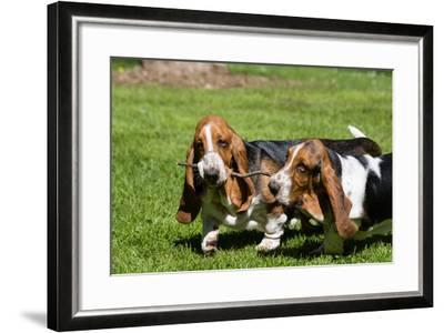 Basset Hounds Playing with a Stick-Zandria Muench Beraldo-Framed Photographic Print