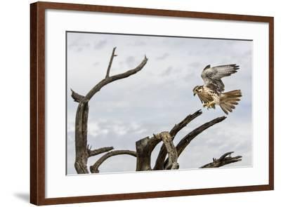 Prairie Falcon, Sonora Desert, Tucson, Arizona, Usa-Chuck Haney-Framed Photographic Print