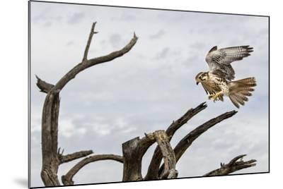 Prairie Falcon, Sonora Desert, Tucson, Arizona, Usa-Chuck Haney-Mounted Photographic Print