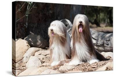 Bearded Collies Sitting at Park-Zandria Muench Beraldo-Stretched Canvas Print