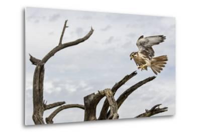 Prairie Falcon, Sonora Desert, Tucson, Arizona, Usa-Chuck Haney-Metal Print