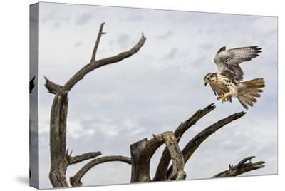 Prairie Falcon, Sonora Desert, Tucson, Arizona, Usa-Chuck Haney-Stretched Canvas Print
