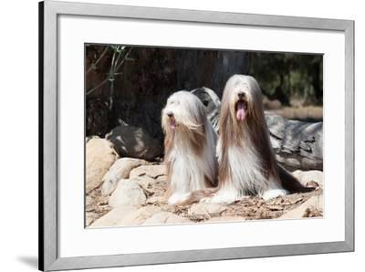 Bearded Collies Sitting at Park-Zandria Muench Beraldo-Framed Photographic Print
