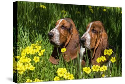 Basset Hounds in Spring Grasses-Zandria Muench Beraldo-Stretched Canvas Print