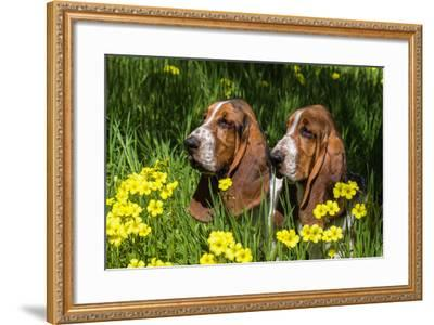 Basset Hounds in Spring Grasses-Zandria Muench Beraldo-Framed Photographic Print