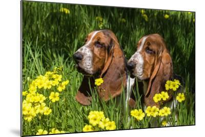 Basset Hounds in Spring Grasses-Zandria Muench Beraldo-Mounted Photographic Print