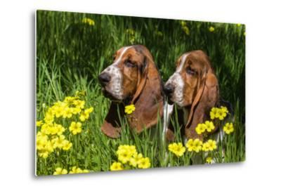 Basset Hounds in Spring Grasses-Zandria Muench Beraldo-Metal Print