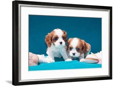Cavalier Puppies with Shells-Zandria Muench Beraldo-Framed Photographic Print