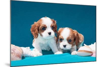 Cavalier Puppies with Shells-Zandria Muench Beraldo-Mounted Photographic Print