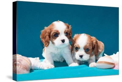 Cavalier Puppies with Shells-Zandria Muench Beraldo-Stretched Canvas Print
