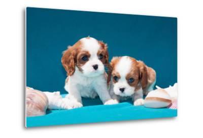 Cavalier Puppies with Shells-Zandria Muench Beraldo-Metal Print