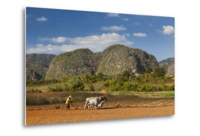 Cuba, Vinales. a Farmer Plows His Field with Brahma Cows-Brenda Tharp-Metal Print