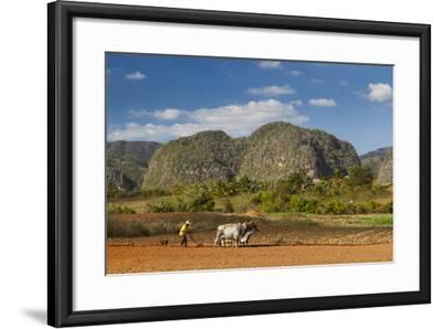 Cuba, Vinales. a Farmer Plows His Field with Brahma Cows-Brenda Tharp-Framed Photographic Print