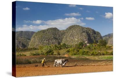Cuba, Vinales. a Farmer Plows His Field with Brahma Cows-Brenda Tharp-Stretched Canvas Print