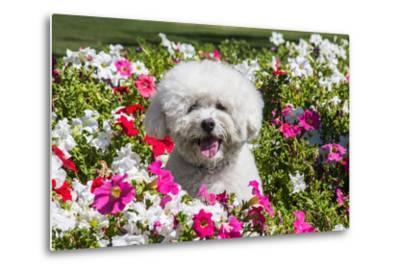 Bichon Frise Sitting in Flowers-Zandria Muench Beraldo-Metal Print
