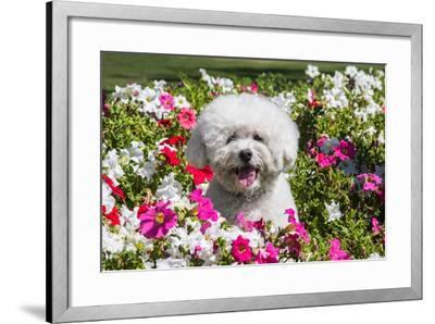 Bichon Frise Sitting in Flowers-Zandria Muench Beraldo-Framed Photographic Print