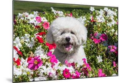 Bichon Frise Sitting in Flowers-Zandria Muench Beraldo-Mounted Photographic Print
