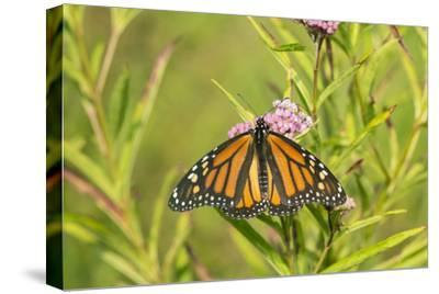 Monarch Butterfly on Swamp Milkweed, Marion County, Il-Richard and Susan Day-Stretched Canvas Print