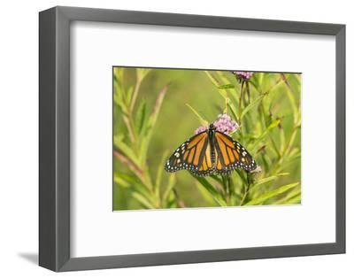 Monarch Butterfly on Swamp Milkweed, Marion County, Il-Richard and Susan Day-Framed Photographic Print