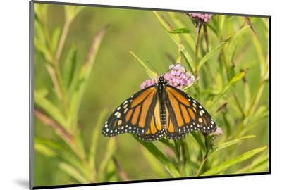 Monarch Butterfly on Swamp Milkweed, Marion County, Il-Richard and Susan Day-Mounted Photographic Print