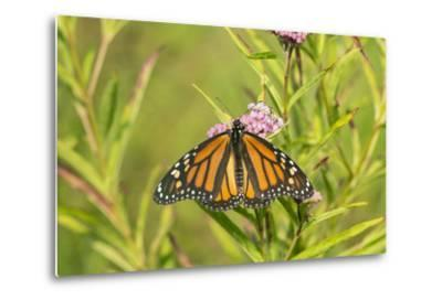 Monarch Butterfly on Swamp Milkweed, Marion County, Il-Richard and Susan Day-Metal Print