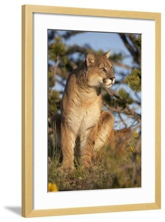 Mountain Lion Looking Off into the Distance, Montana, Usa-Tim Fitzharris-Framed Photographic Print
