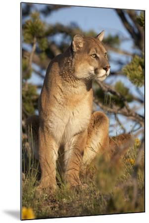 Mountain Lion Looking Off into the Distance, Montana, Usa-Tim Fitzharris-Mounted Photographic Print