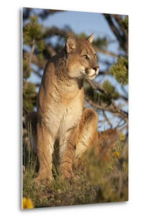Mountain Lion Looking Off into the Distance, Montana, Usa-Tim Fitzharris-Metal Print