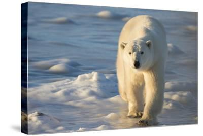 Polar Bear in Churchill Wildlife Management Area, Churchill, Manitoba, Canada-Richard and Susan Day-Stretched Canvas Print