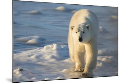 Polar Bear in Churchill Wildlife Management Area, Churchill, Manitoba, Canada-Richard and Susan Day-Mounted Photographic Print