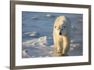 Polar Bear in Churchill Wildlife Management Area, Churchill, Manitoba, Canada-Richard and Susan Day-Framed Photographic Print