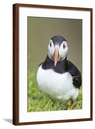 Atlantic Puffin. Scotland, Shetland Islands-Martin Zwick-Framed Photographic Print