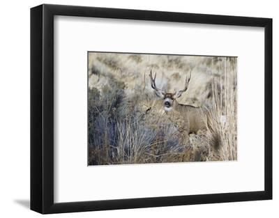 Mule Deer Buck-Ken Archer-Framed Photographic Print