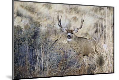 Mule Deer Buck-Ken Archer-Mounted Photographic Print