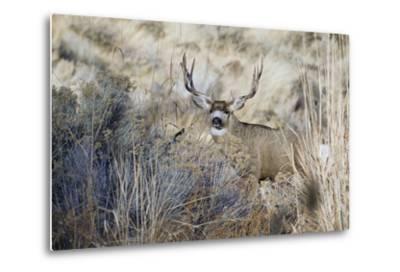 Mule Deer Buck-Ken Archer-Metal Print
