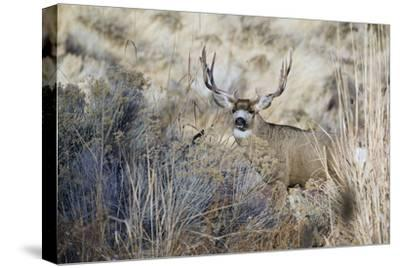 Mule Deer Buck-Ken Archer-Stretched Canvas Print
