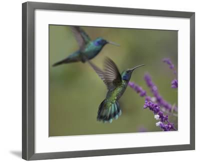 Green Violet-Ear Hummingbirds, Costa Rica-Tim Fitzharris-Framed Photographic Print