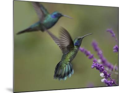 Green Violet-Ear Hummingbirds, Costa Rica-Tim Fitzharris-Mounted Photographic Print