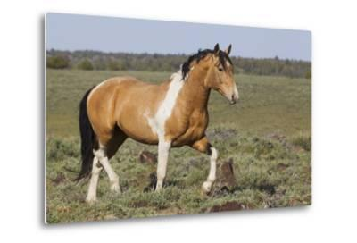 Wild Horses, Strutting Stallion-Ken Archer-Metal Print