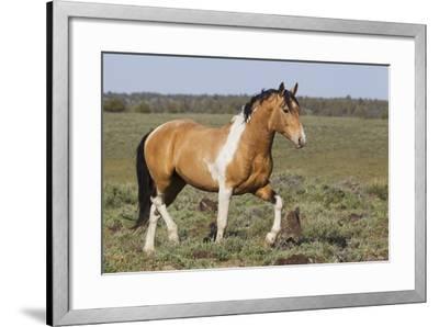 Wild Horses, Strutting Stallion-Ken Archer-Framed Photographic Print