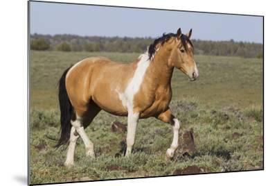 Wild Horses, Strutting Stallion-Ken Archer-Mounted Photographic Print