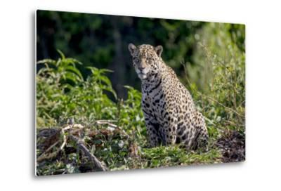 Brazil, Mato Grosso, the Pantanal, Rio Cuiaba. Jaguar on the Bank of the Cuiaba River-Ellen Goff-Metal Print
