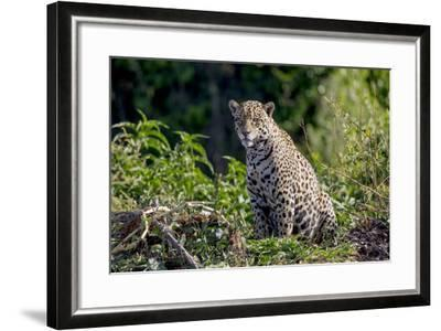Brazil, Mato Grosso, the Pantanal, Rio Cuiaba. Jaguar on the Bank of the Cuiaba River-Ellen Goff-Framed Photographic Print