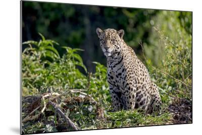 Brazil, Mato Grosso, the Pantanal, Rio Cuiaba. Jaguar on the Bank of the Cuiaba River-Ellen Goff-Mounted Photographic Print