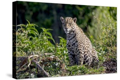 Brazil, Mato Grosso, the Pantanal, Rio Cuiaba. Jaguar on the Bank of the Cuiaba River-Ellen Goff-Stretched Canvas Print