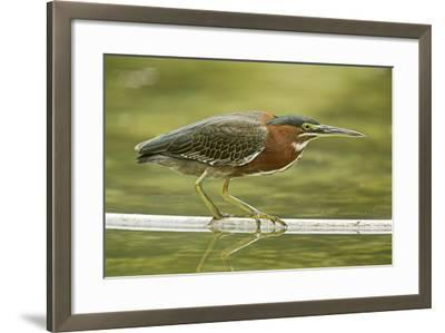 Mexico, Young Non-Breeding Adult Hunting for Fish in Forest Stream-David Slater-Framed Photographic Print