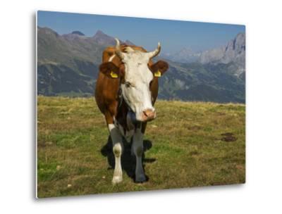 Switzerland, Bern Canton, Mannlichen Area, Swiss Cow in Alpine Setting-Jamie And Judy Wild-Metal Print
